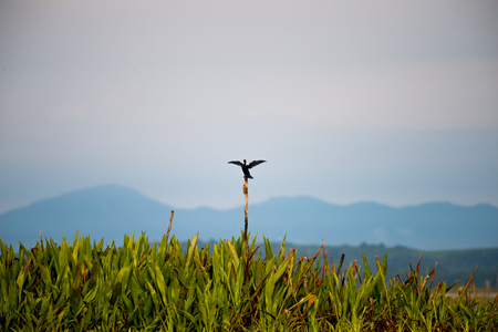 pied: Little cormorant in wetlands Thale Noi, one of the countrys largest wetlands covering Phatthalung, Nakhon Si Thammarat and Songkhla ,South of THAILAND. Stock Photo
