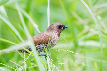 spice: Scaly-breasted Munia Stock Photo