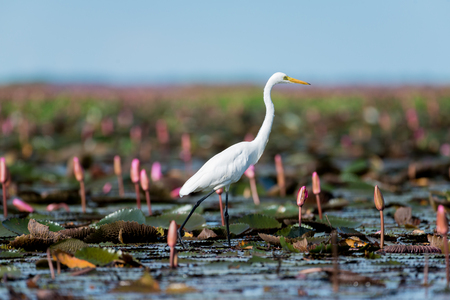 Intermediate Egret or Plumed Egret in wetlands Thale Noi, one of the countrys largest wetlands covering Phatthalung, Nakhon Si Thammarat and Songkhla ,South of THAILAND. Stock Photo