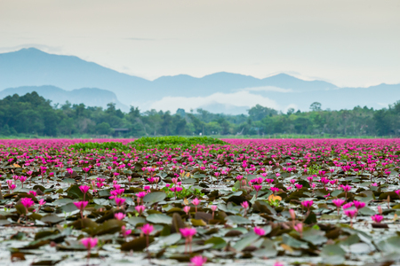 Lotus rosado en los humedales Thale Noi, uno de los humedales más grandes del país que cubren Phatthalung, Nakhon Si Thammarat y Songkhla, sur de TAILANDIA. Foto de archivo - 83188025