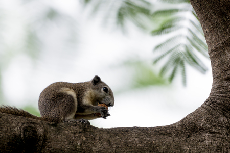 Variable Squirrel eating fruit on the trees