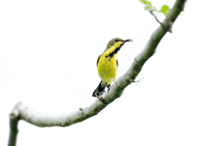 Olive-backed sunbird or Yellow-bellied sunbird Stock Photo