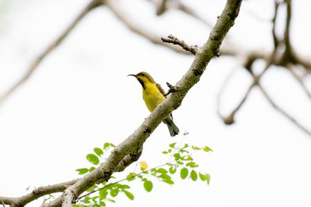 sunbird: Olive-backed sunbird or Yellow-bellied sunbird Stock Photo
