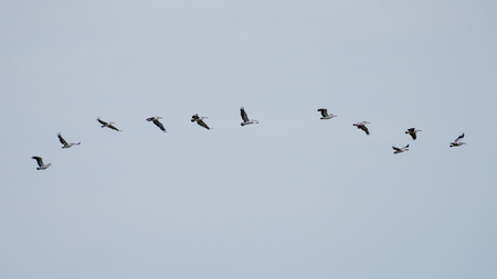 Group Flying of Spot billed pelican