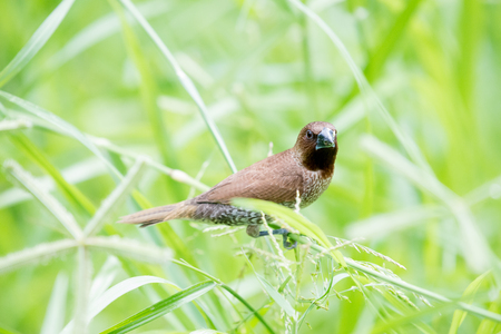 Scaly-breasted Munia Stock Photo