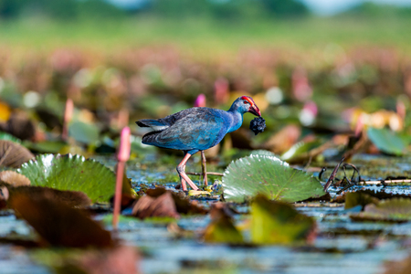 Purple Swamphen in wetlands Thale Noi, one of the countrys largest wetlands covering Phatthalung, Nakhon Si Thammarat and Songkhla, South of THAILAND. Stock Photo