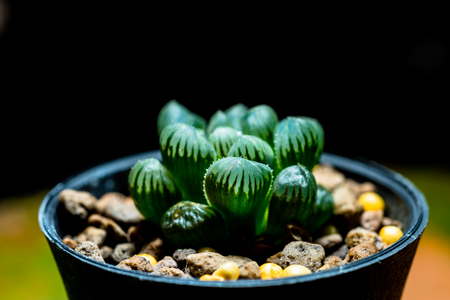 Haworthia is a large genus of small succulent plants