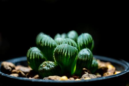 Haworthia is a large genus of small succulent plants