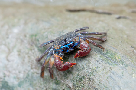A fiddler crab, sometimes known as a calling crab, may be any of approximately 100 species of semi-terrestrial marine crabs