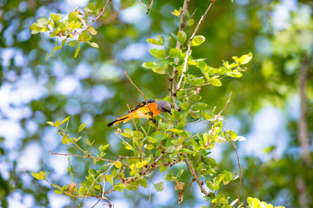 The small minivet is a small passerine bird. This minivet is found in tropical southern Asia Stock Photo