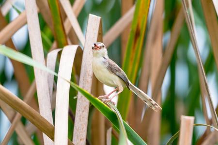 The plain prinia or white-browed wren-warbler