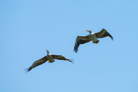 Flying spot billed pelican or grey pelican in Thailand Stock Photo