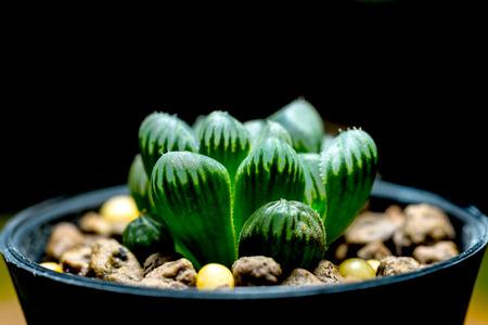 genus: Haworthia is a large genus of small succulent plants