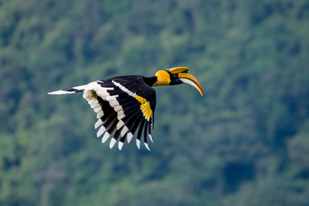 Flying great hornbill at Khao Yai national park, THAILAND Banco de Imagens