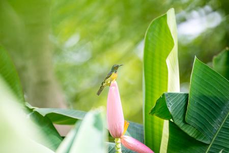 Brown-throated Sunbird or Plain-throated Sunbird. Stock Photo
