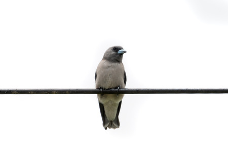 The ashy woodswallow  sometimes also called the ashy swallow-shrike is a woodswallow which is found in south Asia. Stock Photo