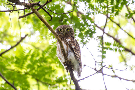 The Asian barred owlet is a species of true owl, resident in northern parts of the Indian Subcontinent and parts of Southeast Asia.