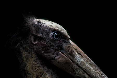 close up head of Lesser adjutant stork Stock Photo