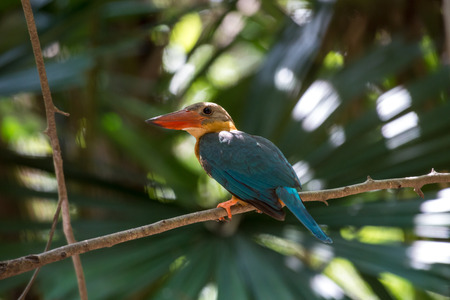 Stork-billed Kingfisher is a very large kingfisher, adult has a green back, blue wings and tail, olive-brown head and very large bill and legs are bright red.