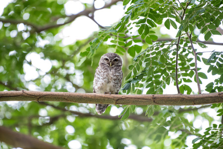 bough: The spotted owlet or Athene brama is a small owl which breeds in tropical Asia from mainland India to Southeast Asia.