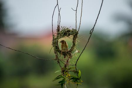 WEAVER: Asian golden weaver Stock Photo