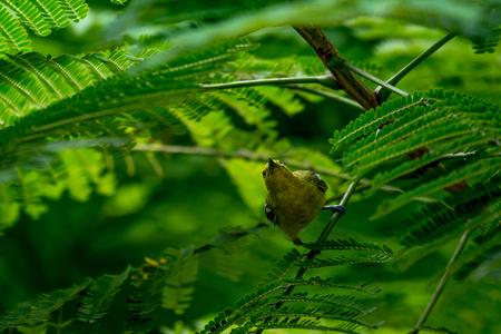 Brown-throated Sunbird or Plain-throated Sunbird Stock Photo