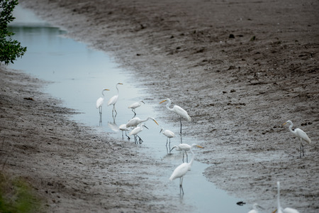 The little egret and cattle egrets are living in rice field in petchburi, Thailand 版權商用圖片
