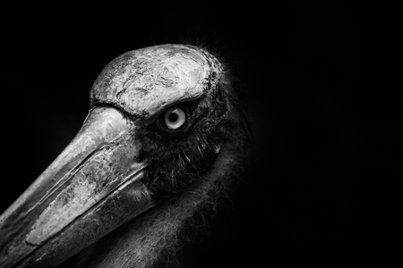 close up head of Lesser adjutant stork  with black background