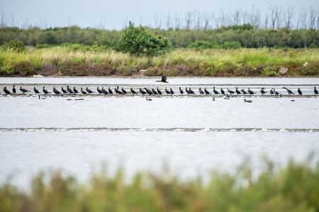 Little Cormorant standing in line