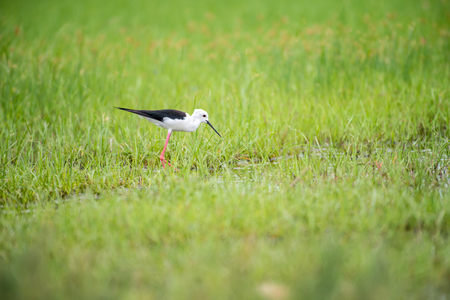 The black-winged stilt, common stilt, or pied stilt is a widely distributed very long-legged wader. Stock Photo