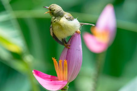 Brown-throated Sunbird or Plain-throated Sunbird on Flowering banana with green blur background