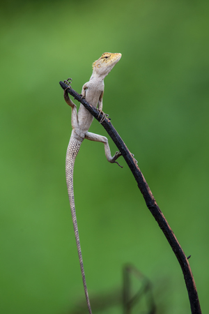 Funny Lizard Posture on green background