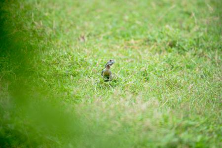 Lizard on green lawn