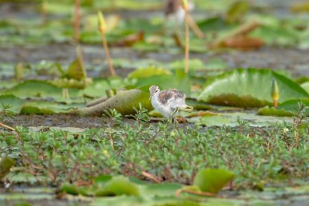 Pheasant-tailed Jacana juvenile