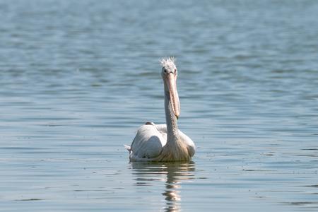 spot billed pelican or grey pelican in Thailand Stock Photo