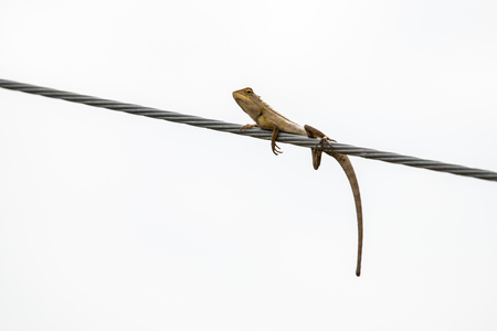 Funny Lizard Posture on white background
