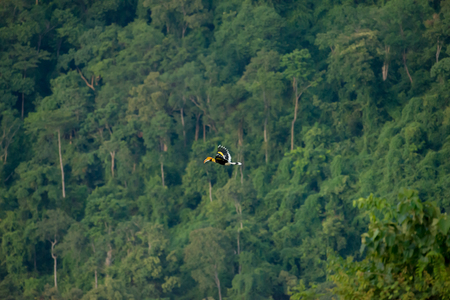 カオヤイ国立公園で大きなホーンビルを飛ぶ, タイ