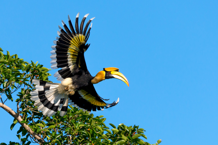 Flying great hornbill at Khao Yai national park, THAILAND Banque d'images