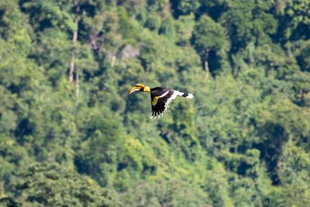 Flying great hornbill at Khao Yai national park, THAILAND Stock Photo