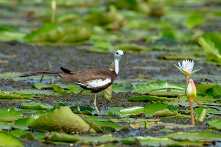 Pheasant-tailed Jacana is the most beautiful waterbird with long tail lived, walk on floating vegetation in shallow lakes