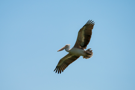 Flying spot billed pelican or grey pelican in Thailand Stock Photo
