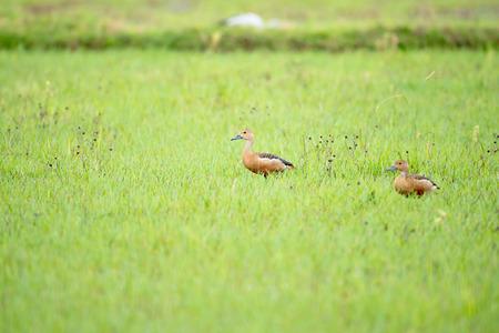Lesser Whistling duck Stock Photo
