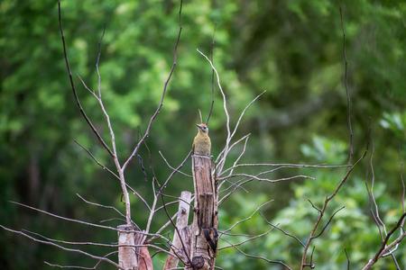 Grey headed Woodpecker