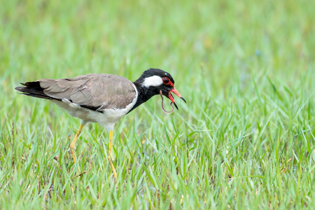 red wattled lapwing 스톡 콘텐츠