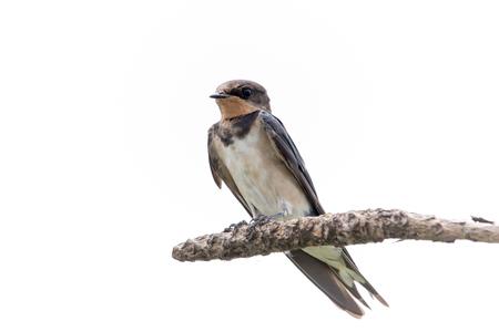 barn swallow bird Stock Photo