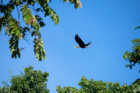 Wreathed hornbill at Khao Yai national park, THAILAND
