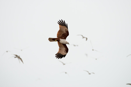 flying Brahminy Kite at Bangpu Recreation Center; Samut Prakan; Thailand Stock Photo