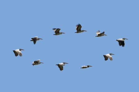 Group of spot billed pelican flying with blue sky in Thailand Stock Photo