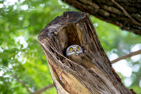 spotted owl in Thailand