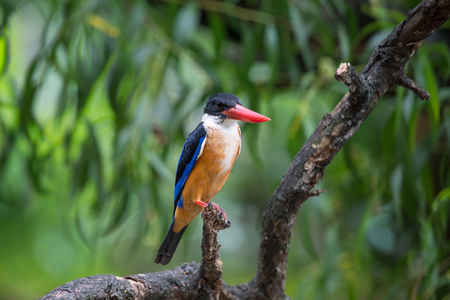 Black-Capped Kingfisher has a purple-blue wings and back, black head and shoulders, white neck collar and throat, and rufous underparts. Stock Photo
